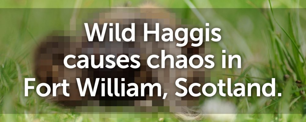 Wild Haggis causes chaos in Fort William, Scotland