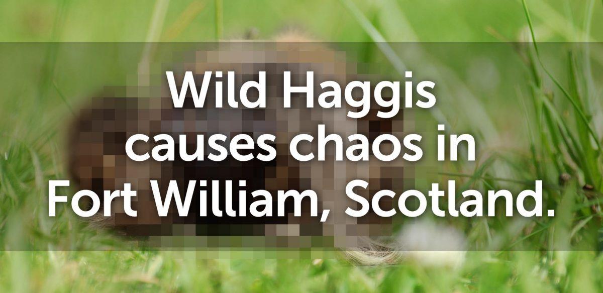 Wild Haggis causes chaos in Fort William, Scotland